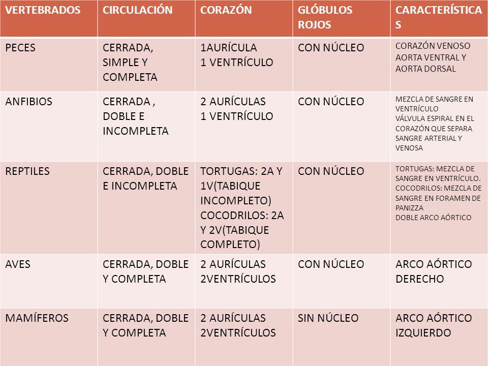 VERTEBRADOSCIRCULACIÓNCORAZÓNGLÓBULOS ROJOS CARACTERÍSTICA S PECESCERRADA, SIMPLE Y COMPLETA 1AURÍCULA 1 VENTRÍCULO CON NÚCLEO CORAZÓN VENOSO AORTA VE