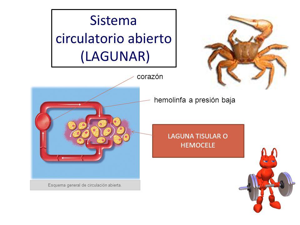 Esquema general de circulación abierta. corazón hemolinfa a presión baja LAGUNA TISULAR O HEMOCELE Sistema circulatorio abierto (LAGUNAR)