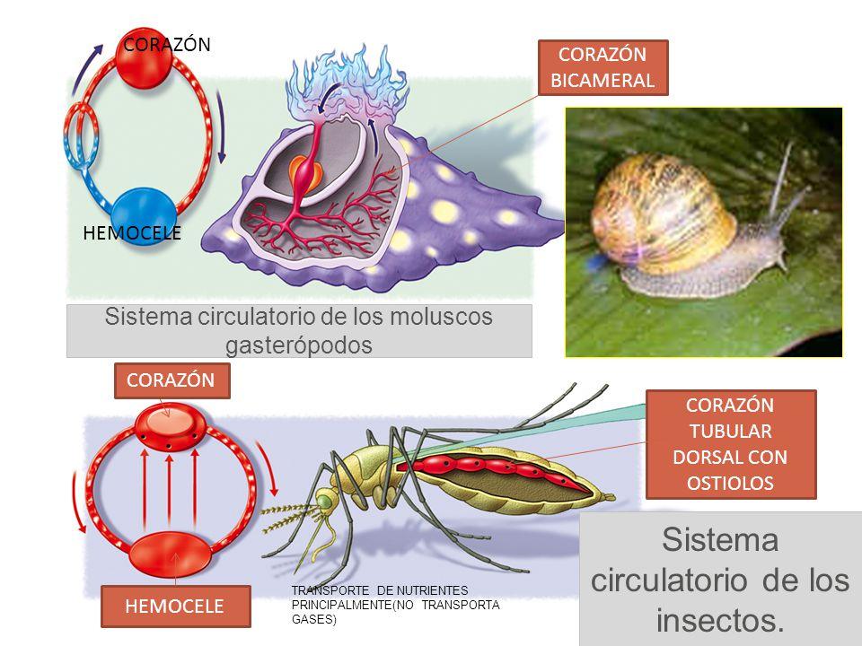 Sistema circulatorio de los moluscos gasterópodos Sistema circulatorio de los insectos. CORAZÓN TUBULAR DORSAL CON OSTIOLOS HEMOCELE CORAZÓN BICAMERAL