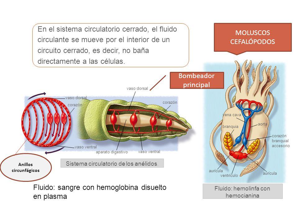 En el sistema circulatorio cerrado, el fluido circulante se mueve por el interior de un circuito cerrado, es decir, no baña directamente a las células