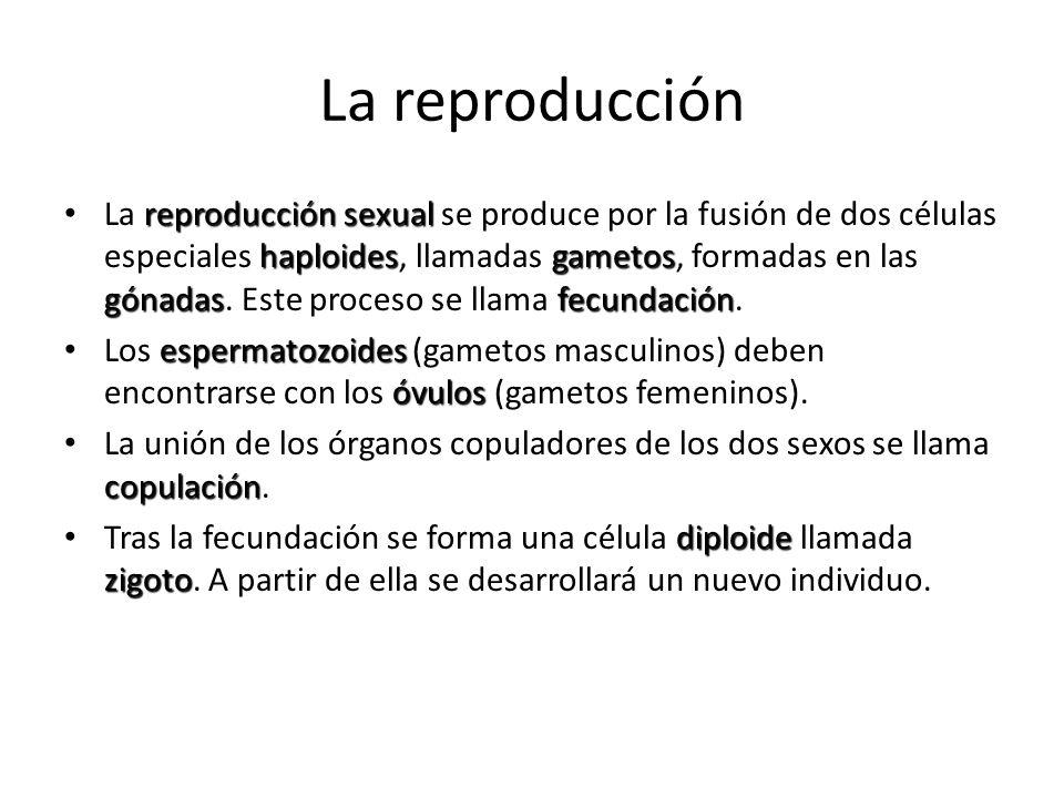 El aparato reproductor GÓNADAS GÓNADAS: En ellas se forman los gametos.