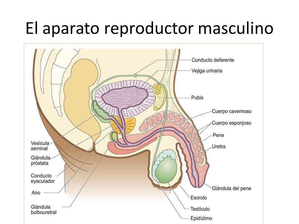 El aparato reproductor masculino: Los testículos escroto Situados en el escroto, fuera de la cavidad abdominal lobulillos túnica albugínea Divididos en lobulillos, separados por la túnica albugínea.