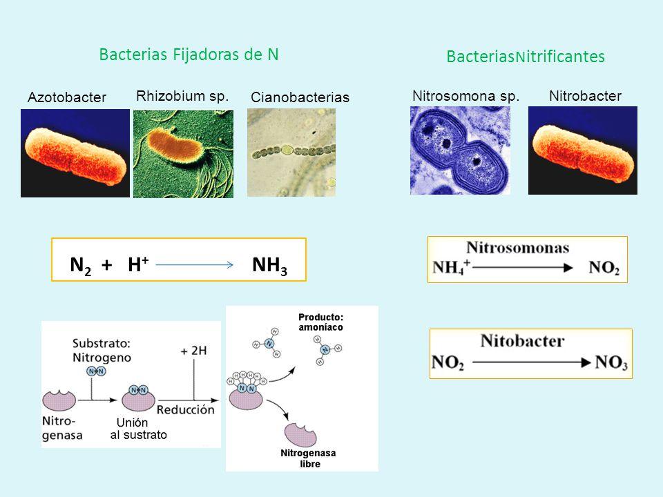 Asimilación Detritos Bacteria desnitrifi- cante Nitrógeno (N 2 ) en la atmósfera Bacteria nitrificante Nitratos (NO 3 - ) Amonio (NH 4 ) Detritívoros