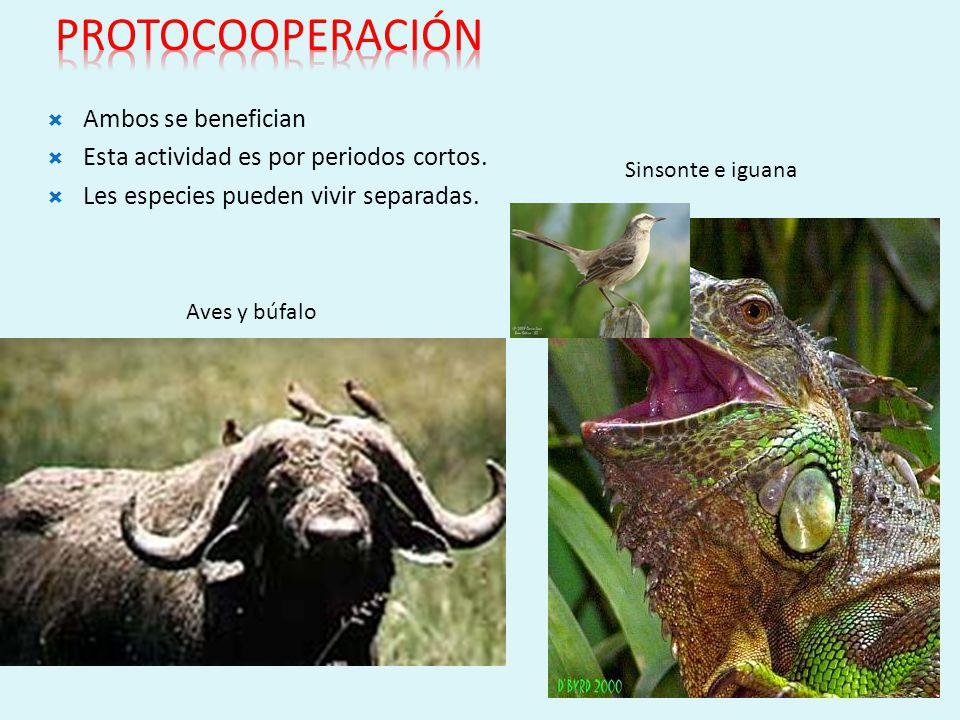 Se dan entre individuos de diferente especie RELACIONES INTERESPECÍFICAS MUTUALISMO Ambos se benefician. No pueden vivir separados. MICORRIZAS
