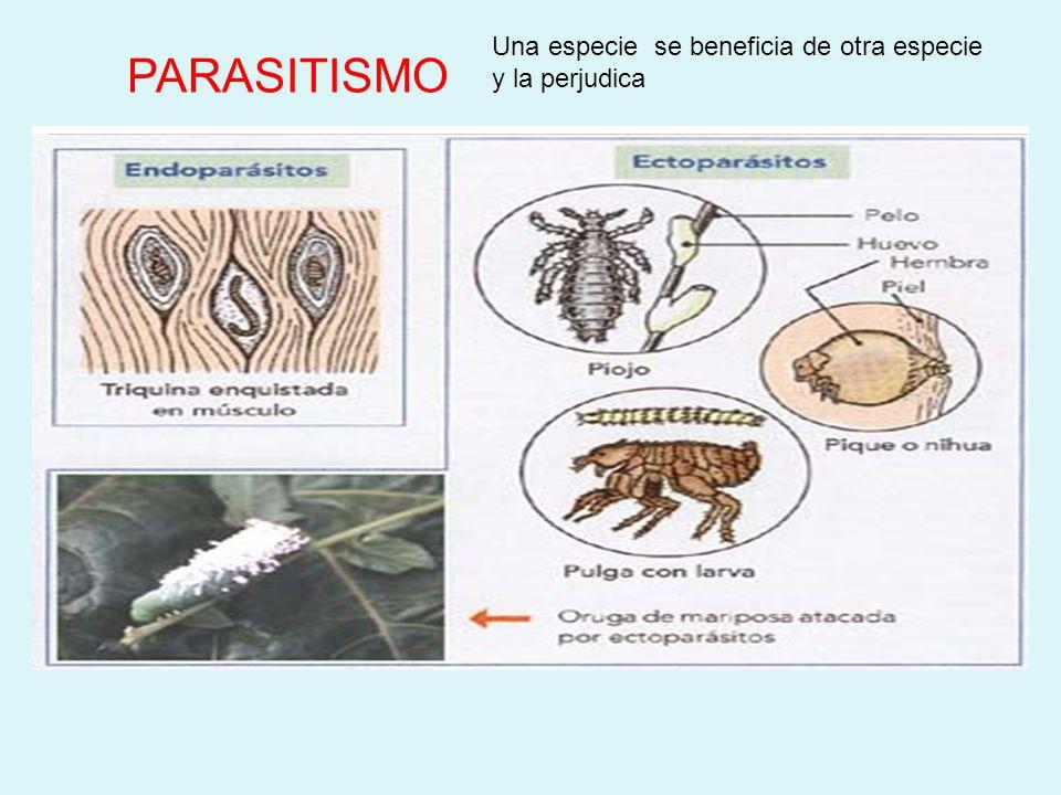 COMENSALISMO Una especie (comensal) se nutre de las sobras de otra especie. Comensal se beneficia, la otra especie no se afecta. rémora y tiburón