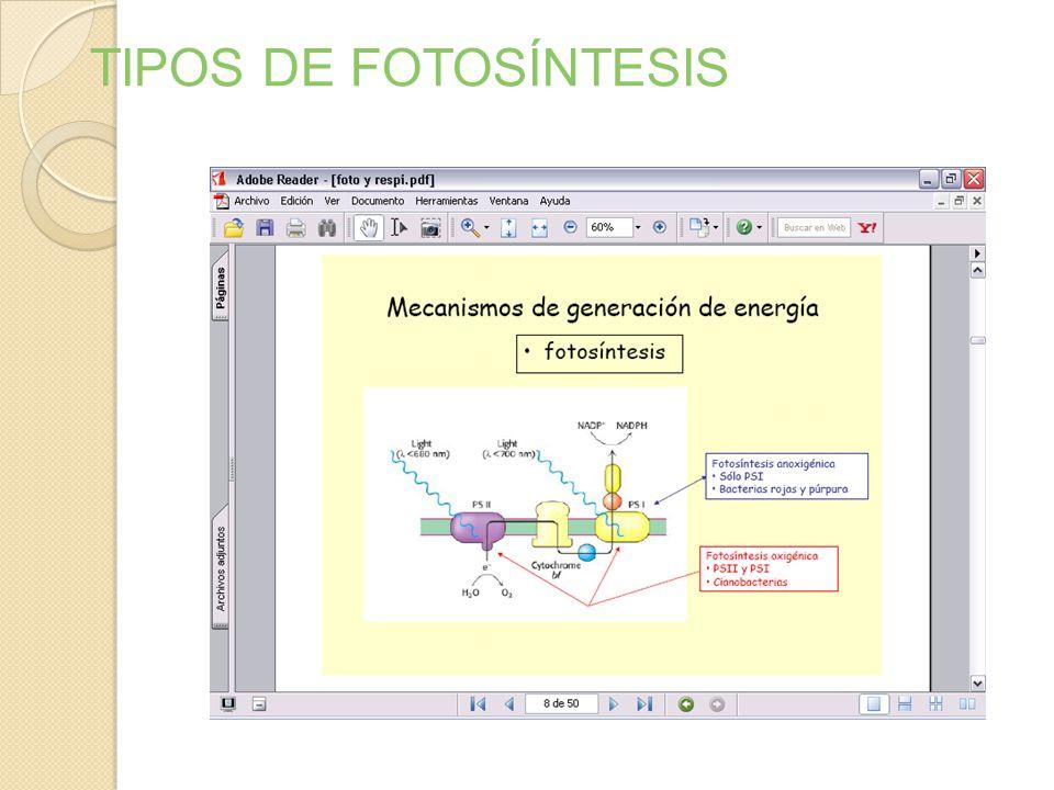 Unidad fotosintética : Cuantosoma, forma- do por: - Fotosistema I (P700) - Fotosistema II (P680) - Cadena transpor- tadora de elec- trones. - ATP Sint
