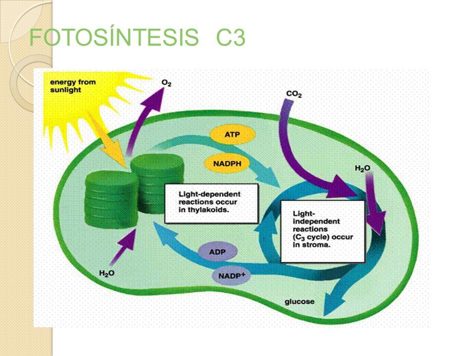 FOTOSÍNTESIS C3 1.Fase luminosa: Utilizando luz visible como fuente de energía produce PODER REDUCTOR (NADPH), O 2 y ATP. 2.Fase oscura: Tanto en pres
