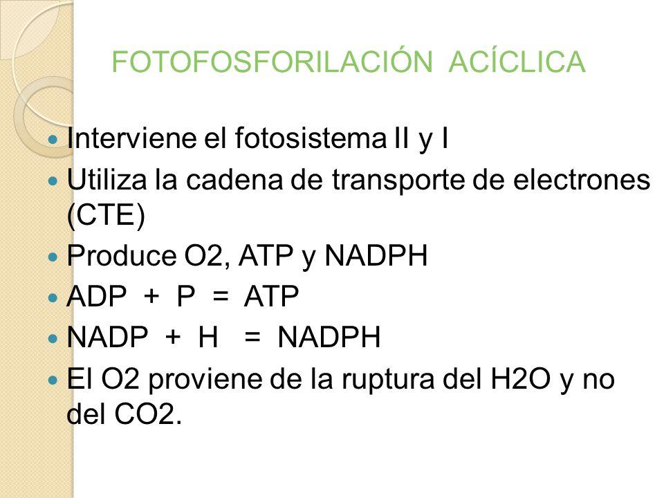 FASE LUMINOSA O FOTOQUÍMICA Convierte la energía de los fotones en energía química (ATP) y NADPH Ocurre en la membrana de los tilacoides. Fases : A) F
