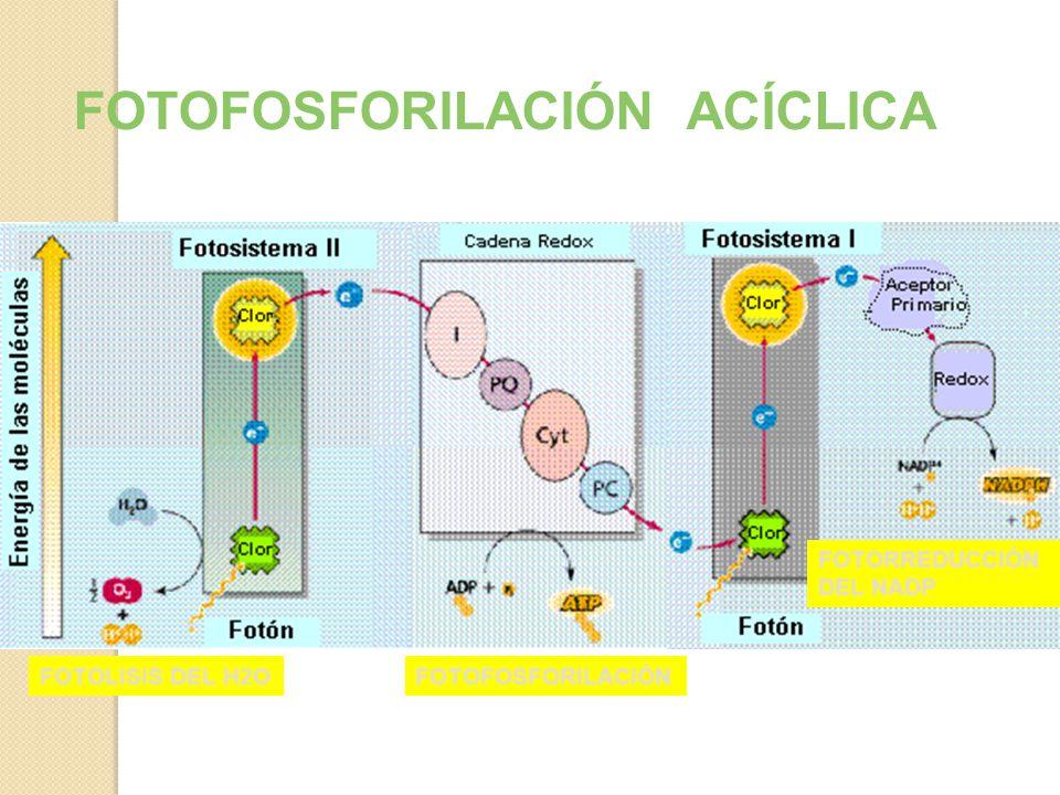 FOTOFOSFORILACIÓN ACÍCLICA Interviene el fotosistema II y I Utiliza la cadena de transporte de electrones (CTE) Produce O2, ATP y NADPH ADP + P = ATP