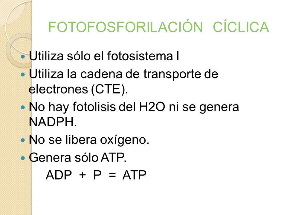 FOTOFOSFORILACIÓN ACÍCLICA FOTOLISIS DEL H2O FOTORREDUCCIÓN DEL NADP FOTOFOSFORILACIÓN