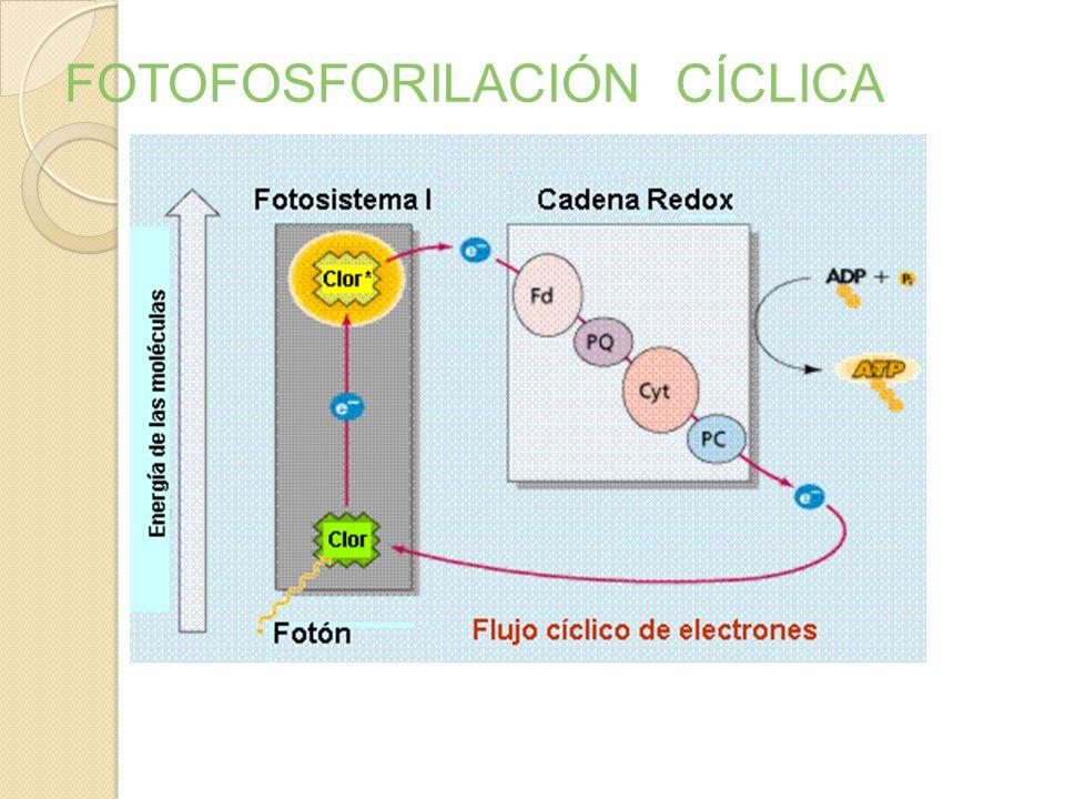 FOTOFOSFORILACIÓN CÍCLICA Utiliza sólo el fotosistema I Utiliza la cadena de transporte de electrones (CTE). No hay fotolisis del H2O ni se genera NAD