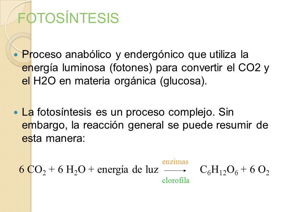 FOTOSÍNTESIS Proceso anabólico y endergónico que utiliza la energía luminosa (fotones) para convertir el CO2 y el H2O en materia orgánica (glucosa).