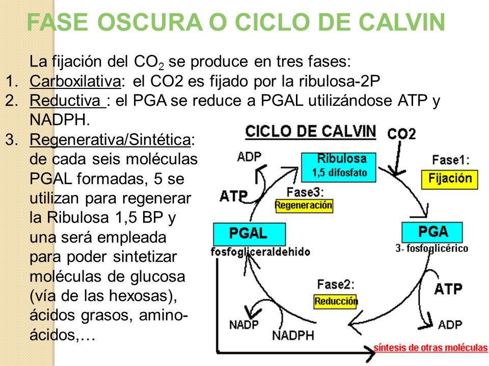 CICLO DE CALVIN-BENSON Ocurre en el estroma Plantas C3 ( 80% de las plantas terrestres ) Fijación del carbono ( independiente de la luz ) Utiliza ATP