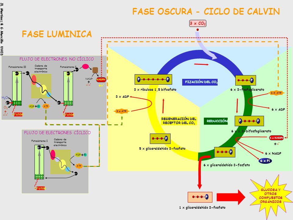 FASE OSCURA O CICLO DE CALVIN La fijación del CO 2 se produce en tres fases: 1.Carboxilativa: el CO2 es fijado por la ribulosa-2P 2.Reductiva : el PGA
