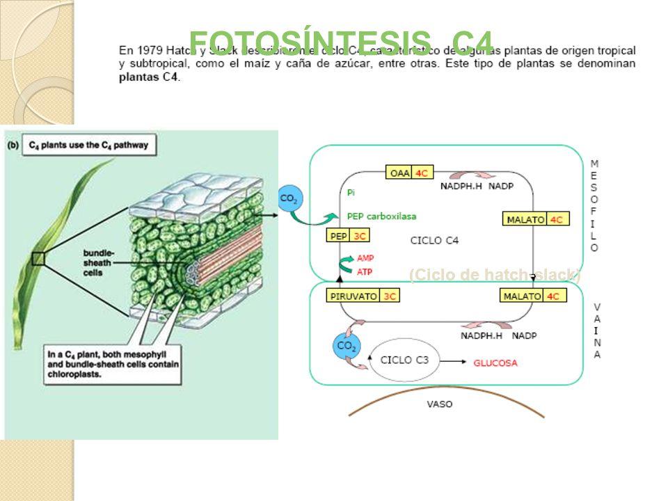 JL Martinez & G Morcillo UNED REGENERACIÓN DEL RECEPTOR DEL CO 2 FIJACIÓN DEL CO 2 REDUCCIÓN Fotosistema I Fotosistema IIFotosistema I e- H2OH2O O2O2