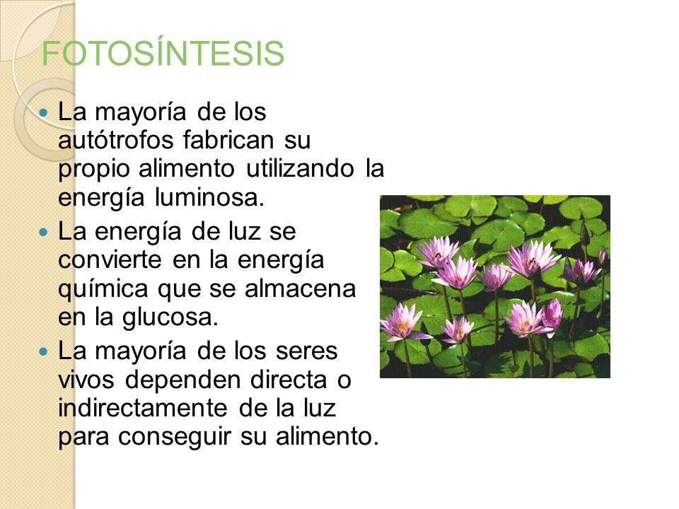 FOTOSÍNTESIS Proceso anabólico y endergónico que utiliza la energía luminosa (fotones) para convertir el CO2 y el H2O en materia orgánica (glucosa). L