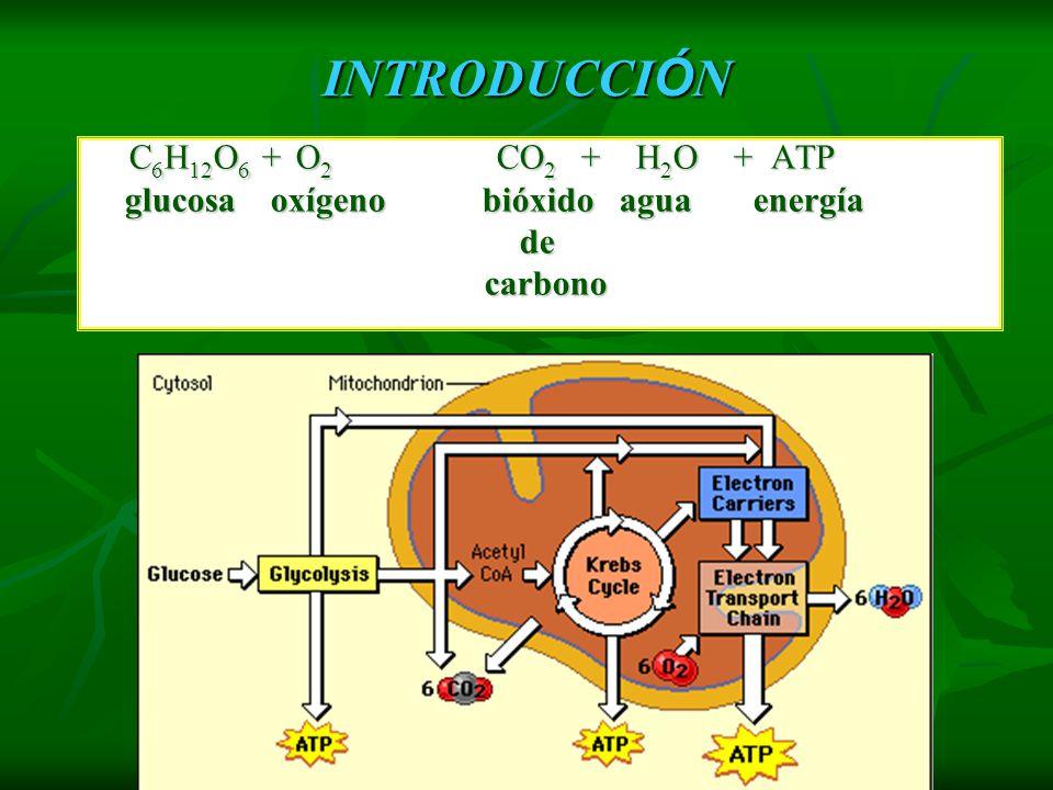 RESPIRACIÓN CELULAR Combustión de materia orgánica para obtener energía (en forma de ATP). Para quemar la materia orgánica se utiliza oxígeno, despren