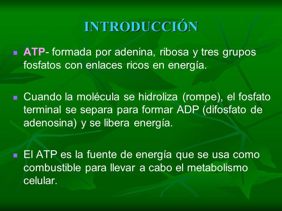 INTRODUCCI Ó N C 6 H 12 O 6 + O 2 CO 2 + H 2 O + ATP glucosa oxígeno bióxido agua energía glucosa oxígeno bióxido agua energía de de carbono carbono