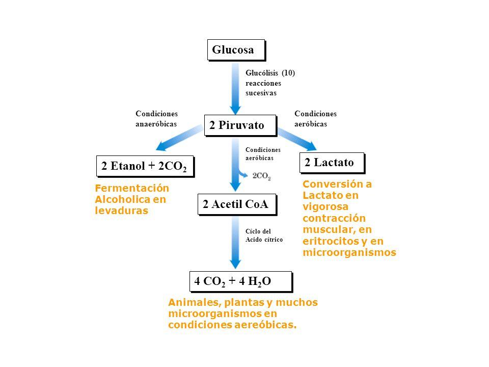 GLUCÓLISIS Es la conversión de glucosa en dos moléculas de ácido pirúvico (compuesto de 3 carbonos). Se usan dos moléculas de ATP, pero se producen cu