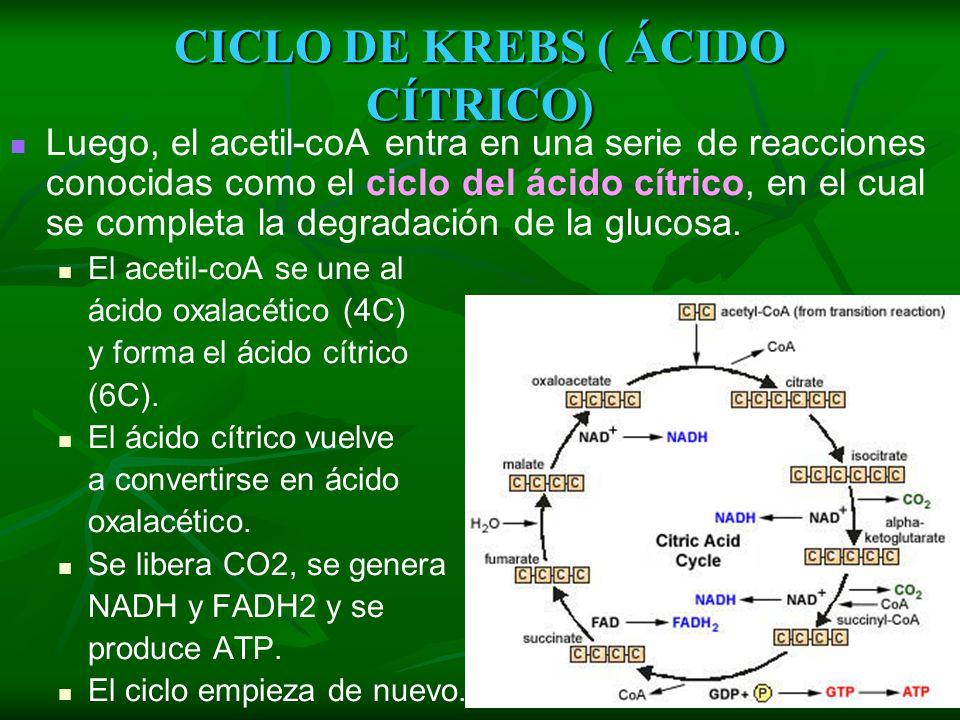 RESPIRACIÓN AERÓBICA : Formación de Acetil Es la conversión del ácido pirúvico (3 C) en Acetil o Acetilo (2 C); el cual se une a la coenzima A (coA).