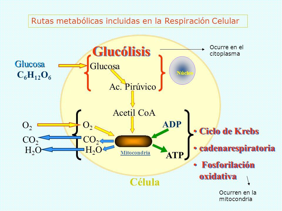 CICLO DE KREBS ( ÁCIDO CÍTRICO) Luego, el acetil-coA entra en una serie de reacciones conocidas como el ciclo del ácido cítrico, en el cual se complet