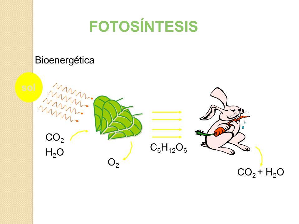 Bioenergética sol + H 2 O CO 2 C 6 H 12 O 6 O2O2 CO 2 H2OH2O FOTOSÍNTESIS