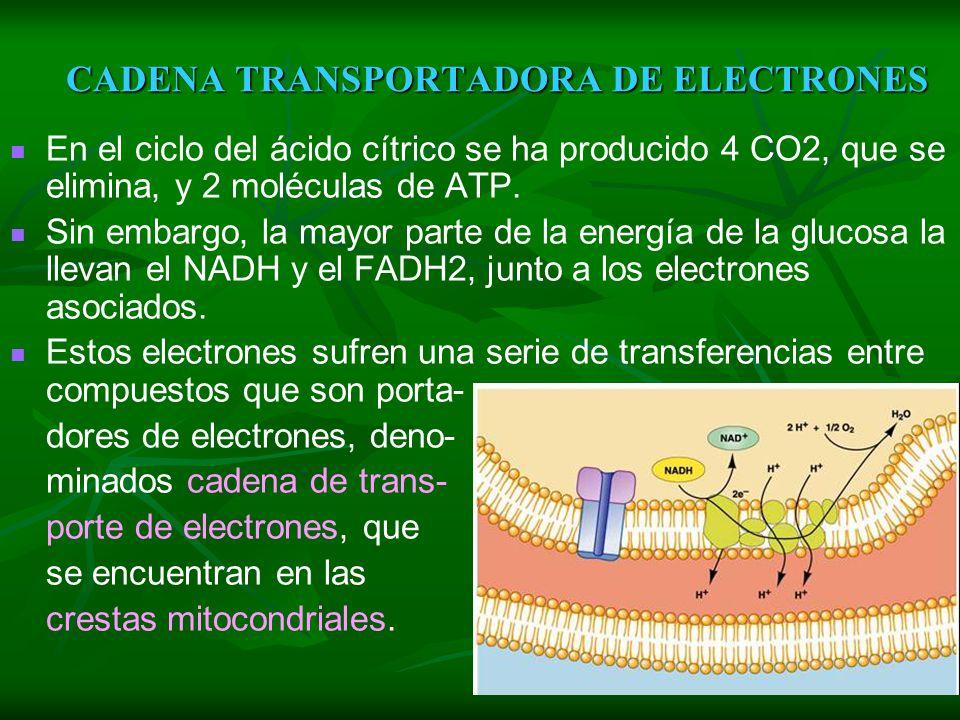 C C C C C Coenzima A CO2 CITOSOL MITOCONDRIA (matriz) C C C C C C Coenzima A C C C C C C C C C C C CO2 PIRUVATO Acetil CoA CITRATO Α CETO GLUTARATO OX