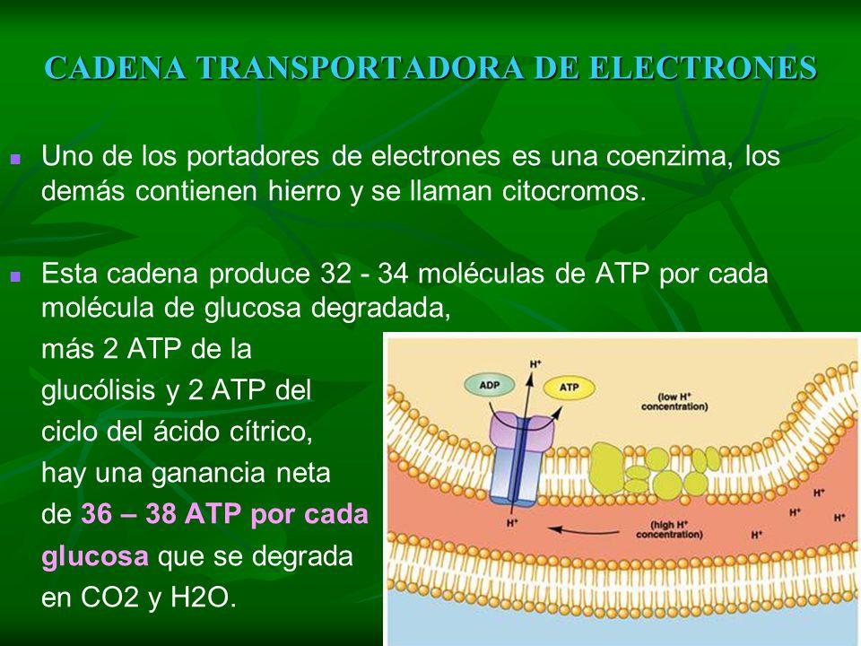 CADENA TRANSPORTADORA DE ELECTRONES En el ciclo del ácido cítrico se ha producido 4 CO2, que se elimina, y 2 moléculas de ATP. Sin embargo, la mayor p