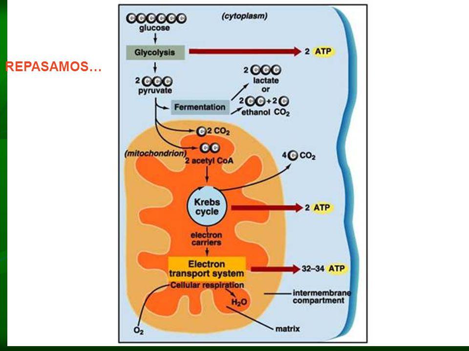 CADENA TRANSPORTADORA DE ELECTRONES Uno de los portadores de electrones es una coenzima, los demás contienen hierro y se llaman citocromos. Esta caden