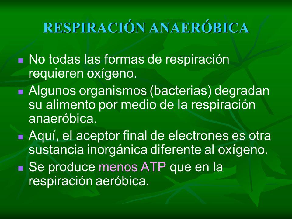 BALANCE ENERGÉTICO Una molécula de glucosa totalmente oxidada nos proporciona de 36 a 38 ATP. Los protones (H+) liberados por el NADH permiten sinteti