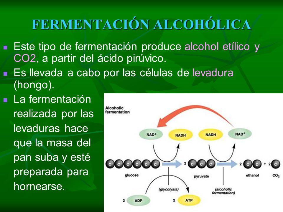 FERMENTACIÓN Es la degradación de la glucosa y liberación de energía utilizando sustancias orgánicas como aceptores finales de electrones. Algunos org