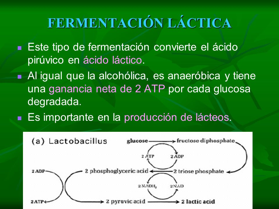 FERMENTACIÓN ALCOHÓLICA Este tipo de fermentación produce alcohol etílico y CO2, a partir del ácido pirúvico. Es llevada a cabo por las células de lev