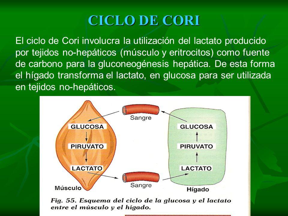 FERMENTACIÓN LÁCTICA Este tipo de fermentación convierte el ácido pirúvico en ácido láctico. Al igual que la alcohólica, es anaeróbica y tiene una gan