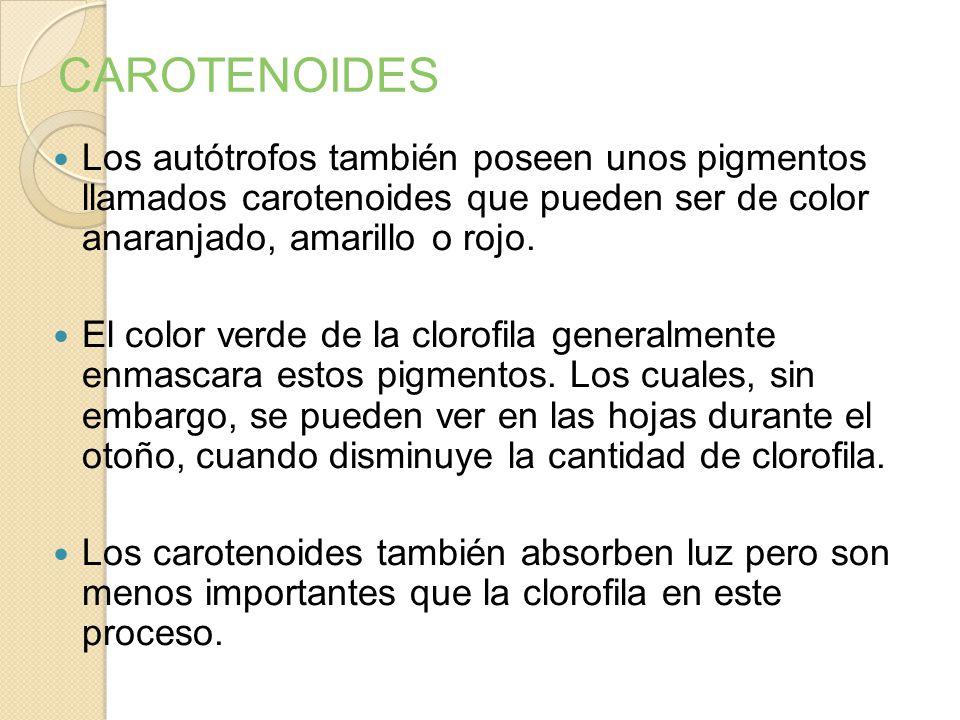 CAROTENOIDES Los autótrofos también poseen unos pigmentos llamados carotenoides que pueden ser de color anaranjado, amarillo o rojo.