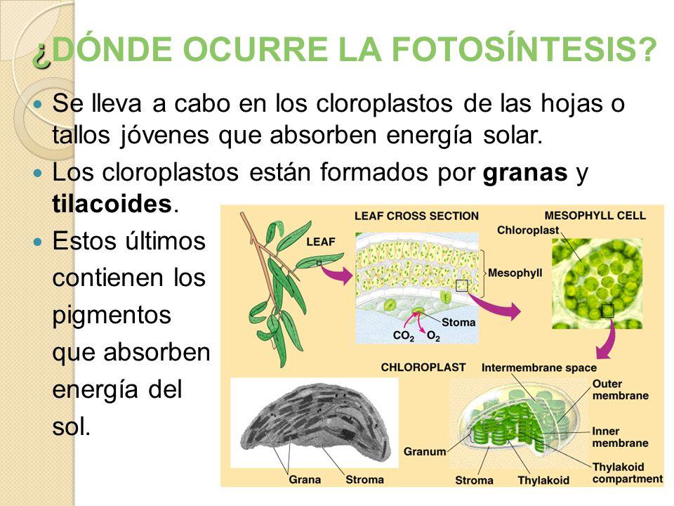 Se lleva a cabo en los cloroplastos de las hojas o tallos jóvenes que absorben energía solar.
