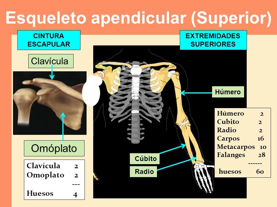 Clavícula Omóplato Clavícula 2 Omoplato 2 --- Huesos 4 Húmero 2 Cubito 2 Radio 2 Carpos 16 Metacarpos 10 Falanges 28 ------ huesos 60 Cúbito Radio Esq