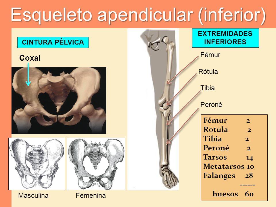Esqueleto apendicular (inferior) CINTURA PÉLVICA Fémur Rótula Tibia Peroné Coxal MasculinaFemenina Fémur 2 Rotula 2 Tibia 2 Peroné 2 Tarsos 14 Metatar