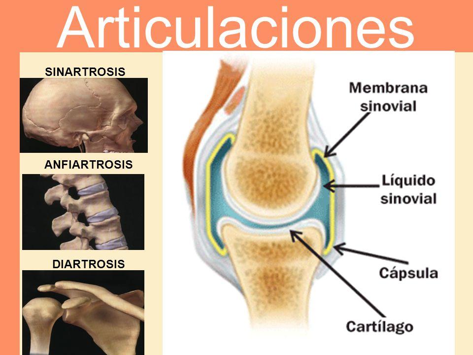 Articulaciones SINARTROSIS ANFIARTROSIS DIARTROSIS