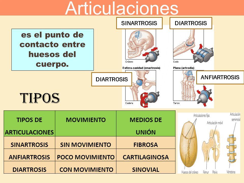 es el punto de contacto entre huesos del cuerpo. TIPOS TIPOS DEMOVIMIENTOMEDIOS DE ARTICULACIONES UNIÓN SINARTROSISSIN MOVIMIENTOFIBROSA ANFIARTROSISP