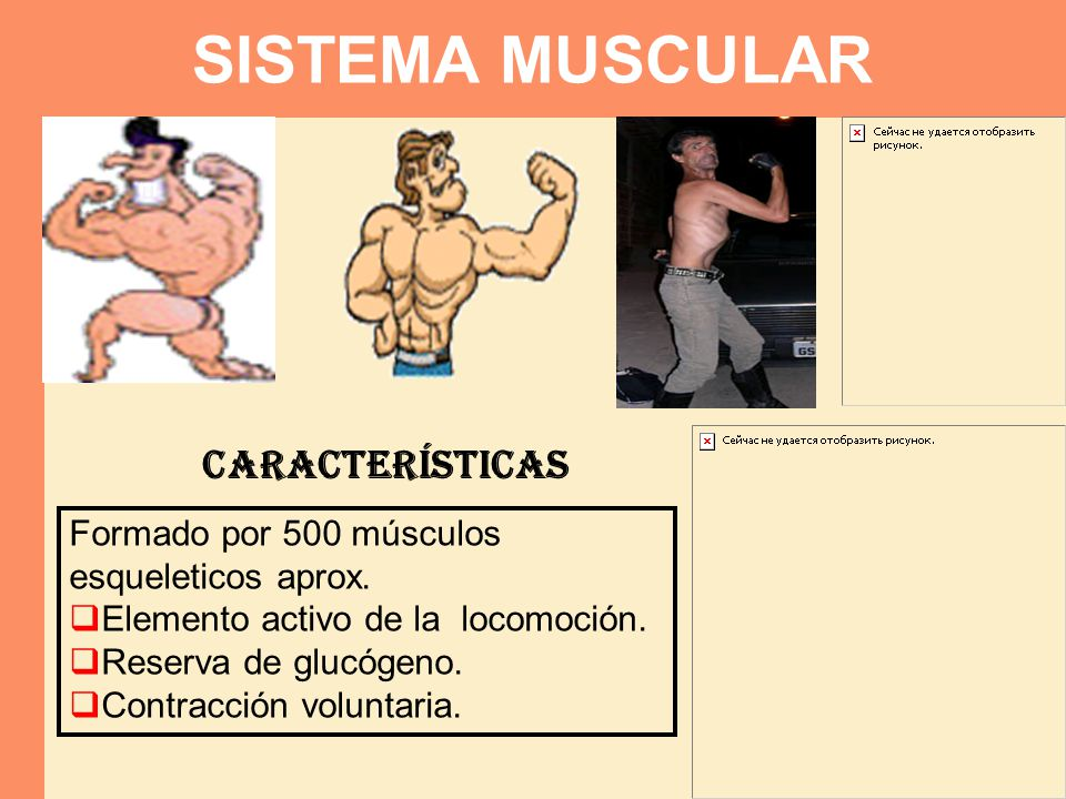 Formado por 500 músculos esqueleticos aprox. Elemento activo de la locomoción. Reserva de glucógeno. Contracción voluntaria. Características SISTEMA M