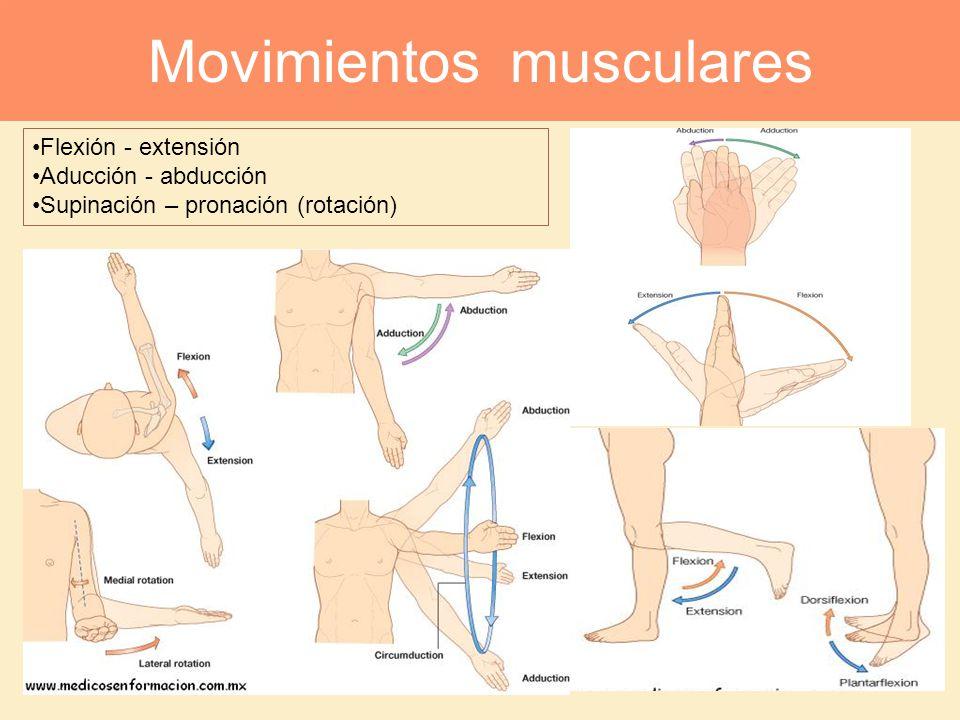 Flexión - extensión Aducción - abducción Supinación – pronación (rotación) Movimientos musculares