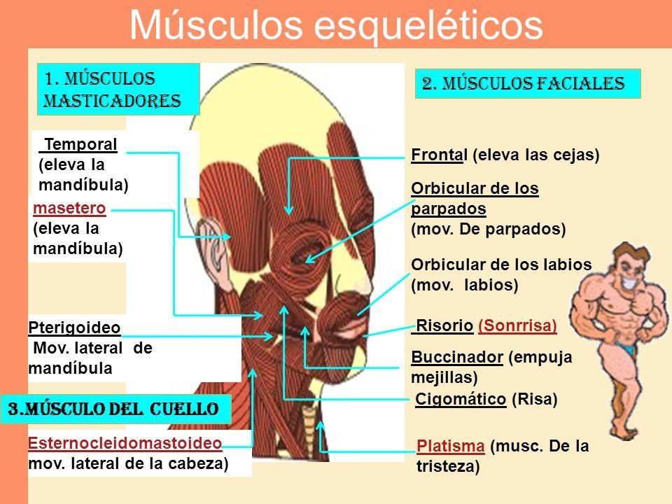 1. Músculos masticadores Temporal (eleva la mandíbula) masetero (eleva la mandíbula) Pterigoideo Mov. lateral de mandíbula 2. Músculos faciales Fronta