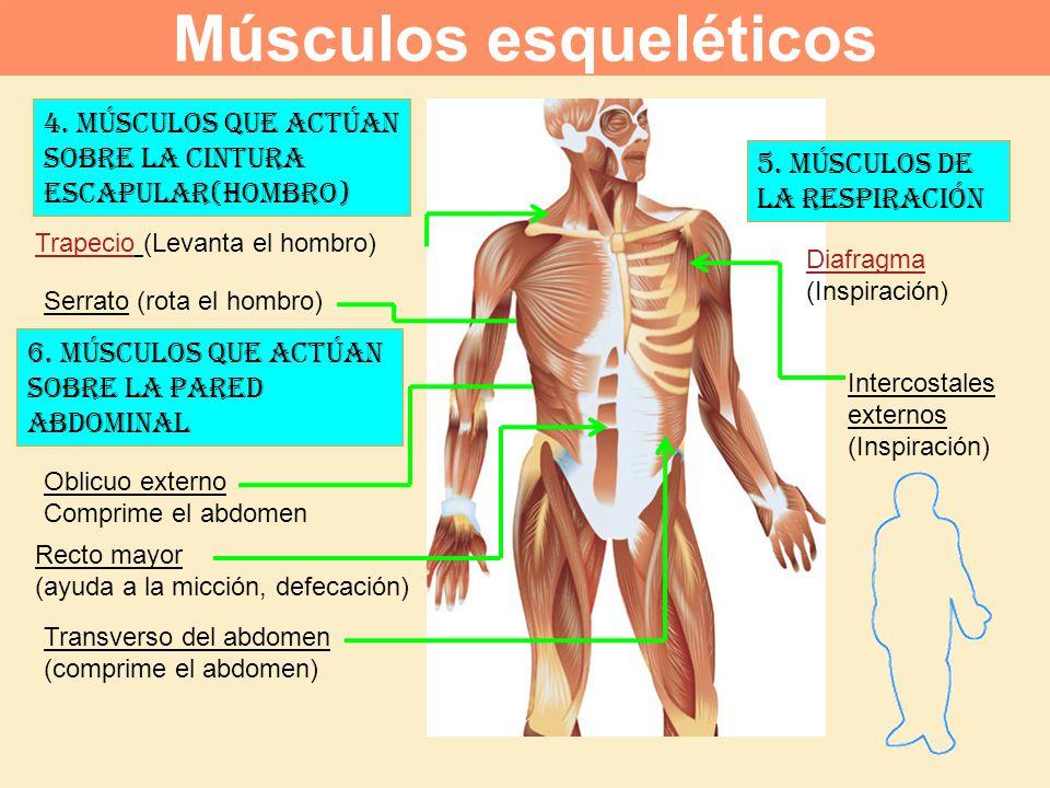 6. Músculos que actúan sobre la pared abdominal Recto mayor (ayuda a la micción, defecación) Oblicuo externo Comprime el abdomen Serrato (rota el homb