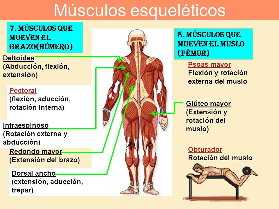 7. Músculos que mueven el brazo(húmero) Pectoral (flexión, aducción, rotación interna) Dorsal ancho (extensión, aducción, trepar) Deltoides (Abducción