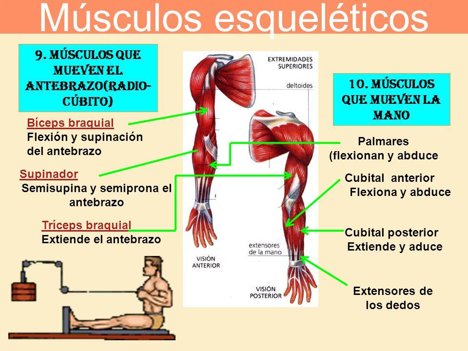 9. Músculos que mueven el antebrazo(radio- cúbito) Bíceps braquial Flexión y supinación del antebrazo Tríceps braquial Extiende el antebrazo Supinador
