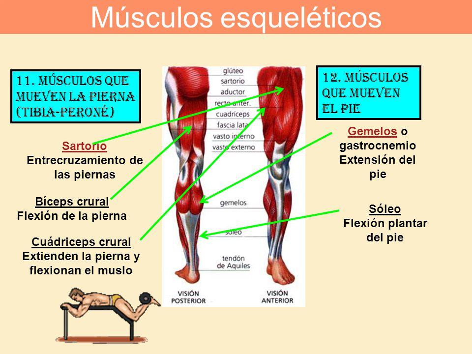 11. Músculos que mueven la pierna (tibia-peroné) 12. Músculos que mueven el pie Cuádriceps crural Extienden la pierna y flexionan el muslo Bíceps crur