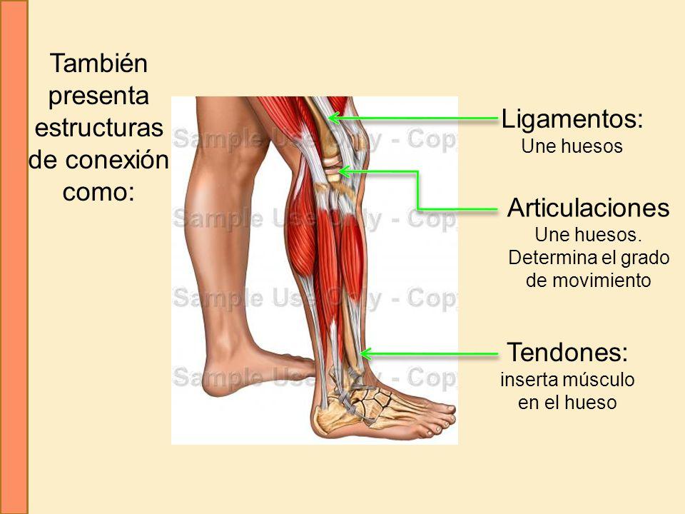 También presenta estructuras de conexión como: Ligamentos: Une huesos Tendones: inserta músculo en el hueso Articulaciones Une huesos. Determina el gr
