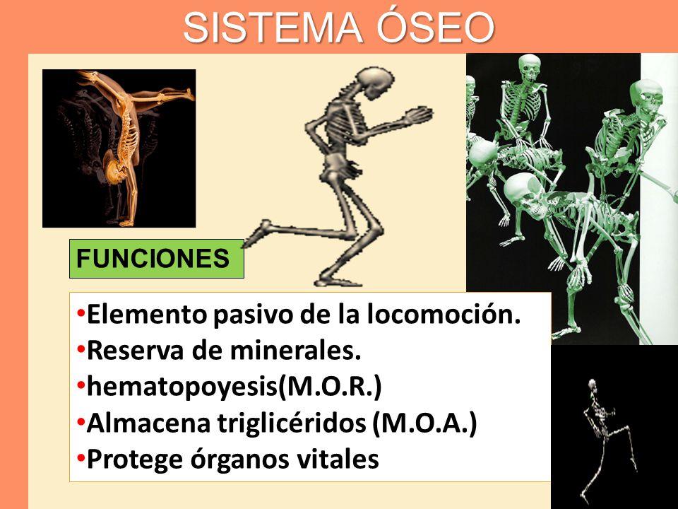 FUNCIONES SISTEMA ÓSEO Elemento pasivo de la locomoción. Reserva de minerales. hematopoyesis(M.O.R.) Almacena triglicéridos (M.O.A.) Protege órganos v