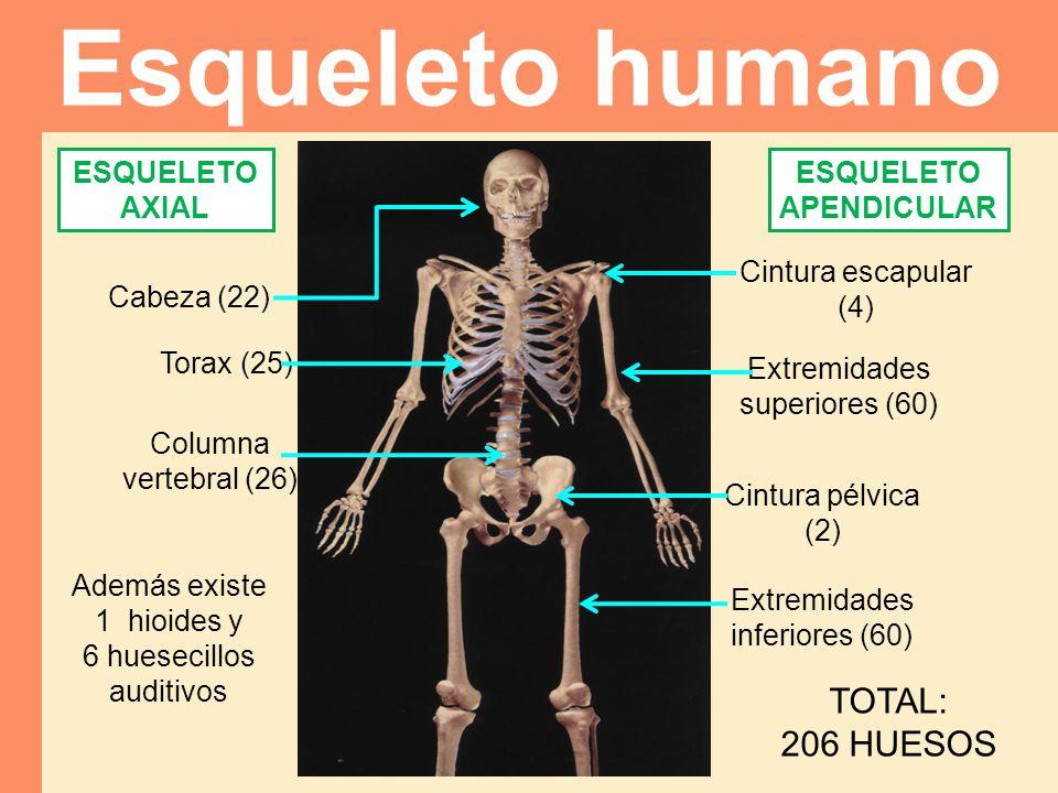 Cabeza (22) Torax (25) Columna vertebral (26) Cintura pélvica (2) Extremidades superiores (60) Cintura escapular (4) Extremidades inferiores (60) Esqu
