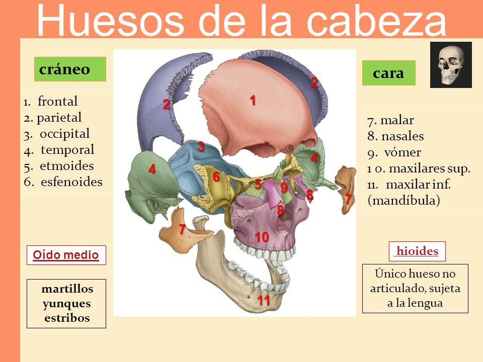cráneo 1. frontal 2. parietal 3. occipital 4. temporal 5. etmoides 6. esfenoides Oído medio martillos yunques estribos cara 7. malar 8. nasales 9. vóm